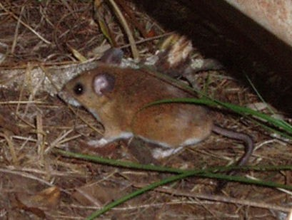 Deer mouse carrying the hantavirus