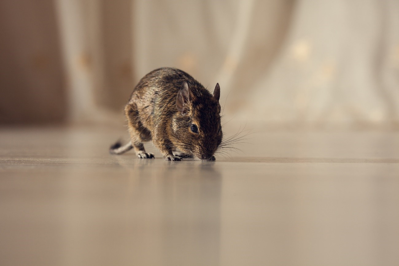 mouse carrying the hantavirus