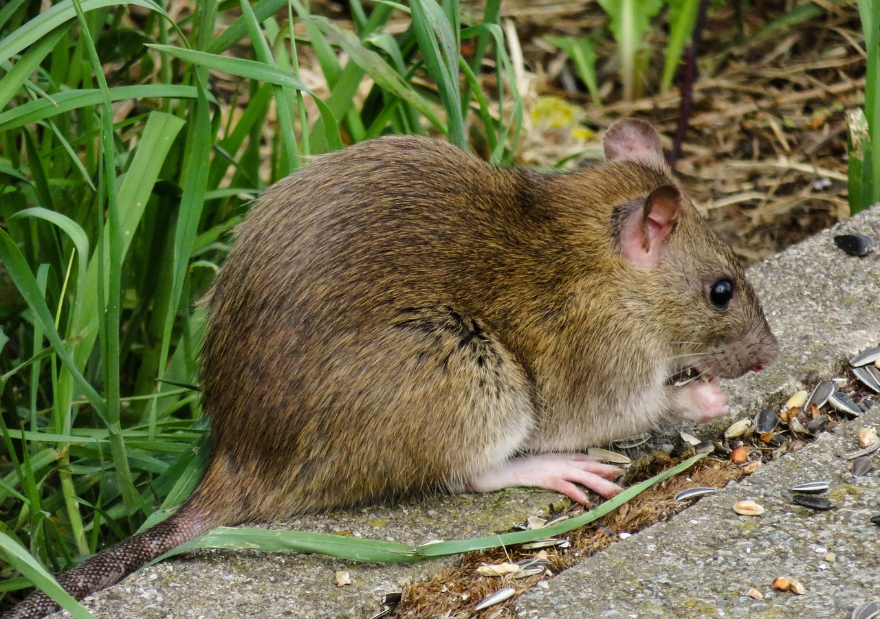 Hantavirus can also be transmitted by wild or domesticated rats